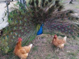 Chickens & Peafowl