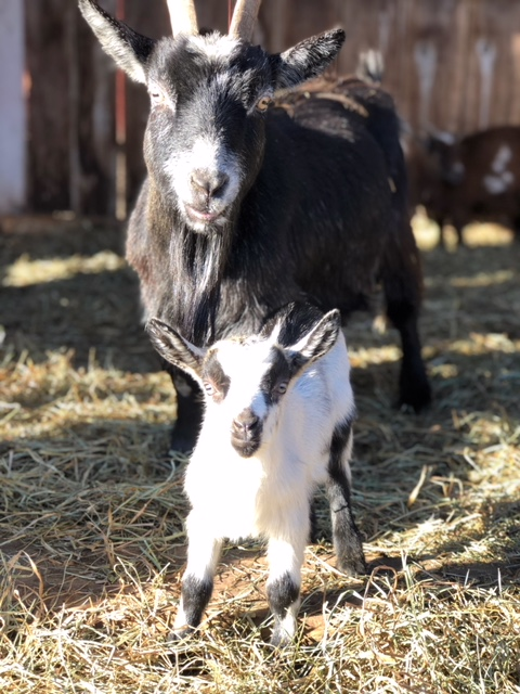 Goats at Flamig Farm in Simsbury, CT