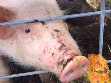 Flamig Farm Pigs