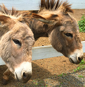 Flamig Farm Donkeys