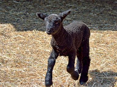 Flamig Farm Lambs