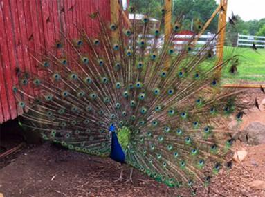 Flamig Farm Peacocks