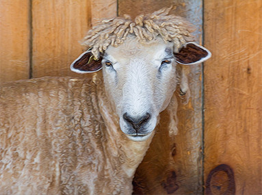 Flamig Farm Sheep