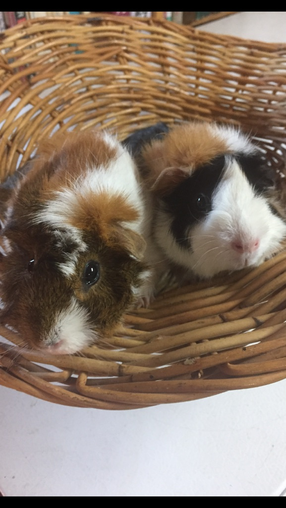 Guinea Pigs at Flamig Farm in Simsbury CT